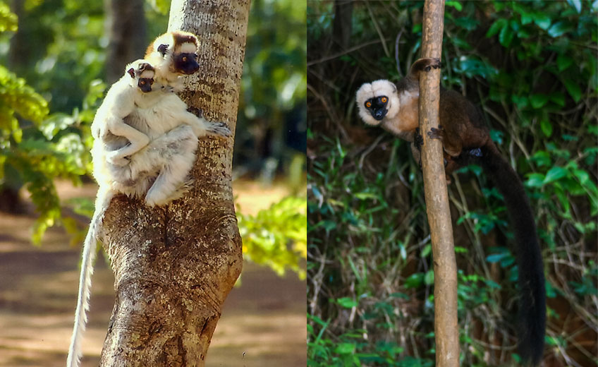 lemurs essay Sandy documented her journey along the way, taking photos, making friends (with lemurs as well as humans) and reflecting on the natural beauty of this island like no other place on earth to get a taste of sandy's madagascar experience, check out her photo essay below.