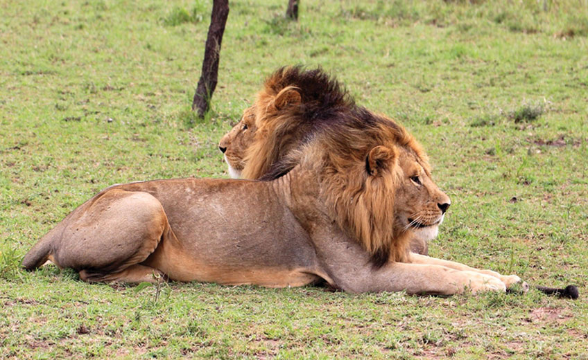 THE LIONS OF SERENGETI