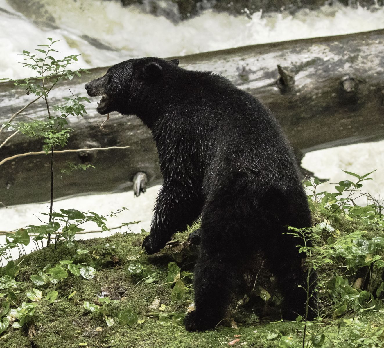 Exploring the Great Bear Rainforest of Canada (Part 2)