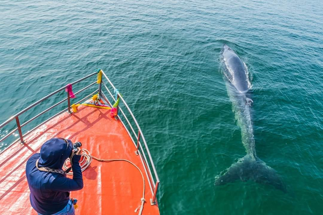 The List of Winter Whale Watch in Thailand!
