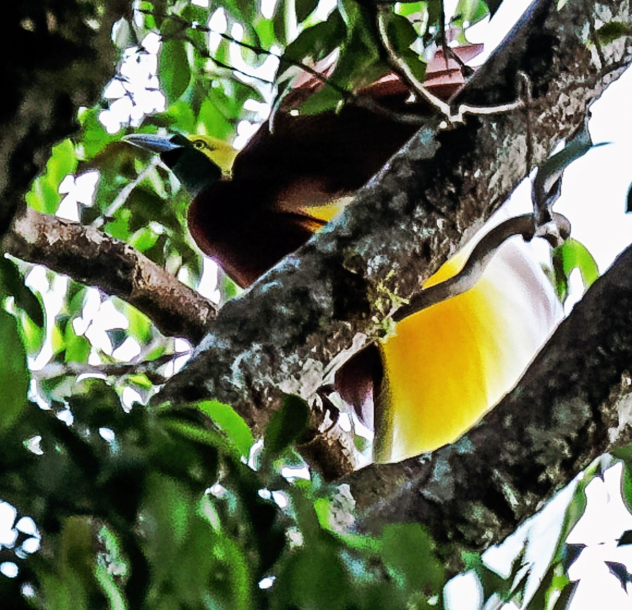West Papua: In Search of the Birds of Paradise