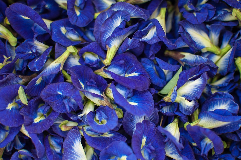 bunch of butterfly pea